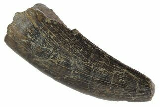 "Serrated, 1.39"" Tyrannosaur (Nanotyrannus) Tooth - Montana For Sale, #87923"