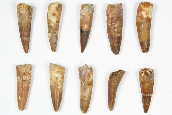 "Lot: 1.5-2"", Bargain Spinosaurus Teeth - 10 Pieces"