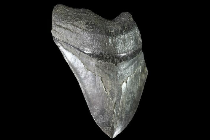 "5.71"" Partial Fossil Megalodon Tooth - Serrated Blade"