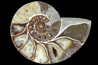 "Buy 4.45"" Thick Ammonite (Anapuzosia) Fossil Half - #88051"