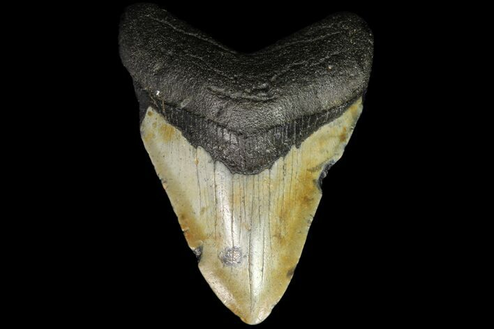 "Bargain, 3.56"" Megalodon Tooth - North Carolina"