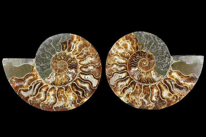 "5.1"" Cut & Polished Ammonite Fossil - Agatized"