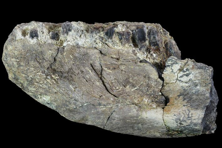 "5.8"" Hadrosaur (Kritosaurus) Jaw Section With Teeth - Texas"