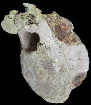 "5.5"" Agujaceratops Vertebrae  - Aguja Formation, Texas For Sale, #88712"