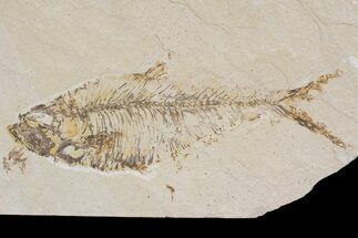 "Bargain, 7"" Diplomystus Fossil Fish - Wyoming For Sale, #88526"