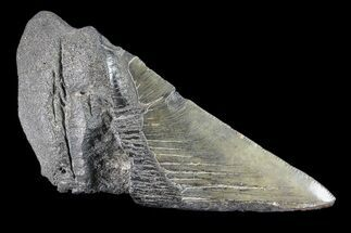 "Buy 5.1"" Partial Fossil Megalodon Tooth - #88636"