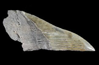 "Buy 5.4"" Partial Fossil Megalodon Tooth - #88639"