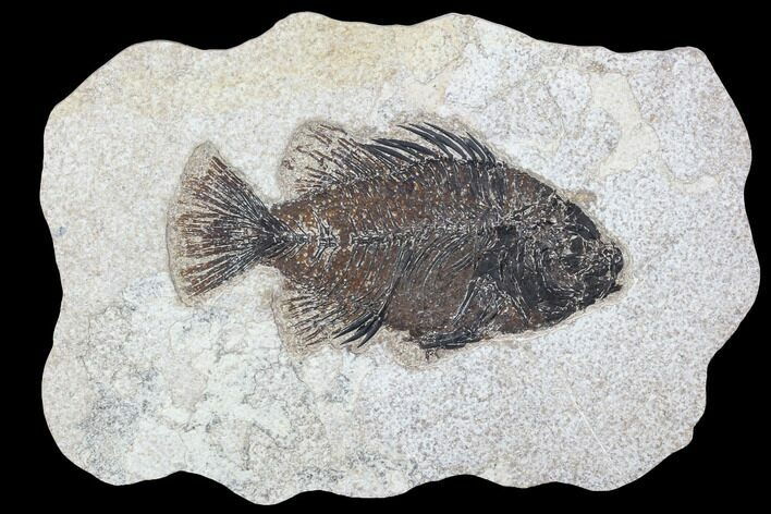 "5.2"" Cockerellites (Priscacara) Fossil Fish - Hanger Installed"