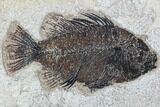 "5.2"" Cockerellites (Priscacara) Fossil Fish - Hanger Installed - #88776-1"