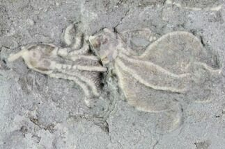 Buy Two Crinoid Fossils (Dichocrinus) - Gilmore City, Iowa - #88846
