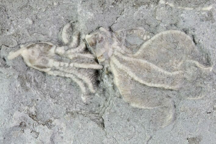 Two Crinoid Fossils (Dichocrinus) - Gilmore City, Iowa