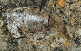 "1.65"" Tyrannosaur (Undescribed) Tooth In Situ - Aguja Formation, Texas For Sale, #88856"