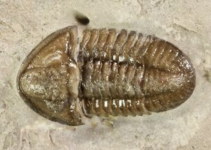 ".6"" Mississippian Trilobite (Ameropiltonia) - Missouri For Sale, #77999"