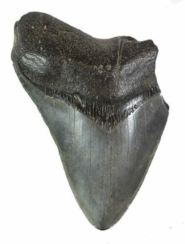 "Partial, 4.01"" Fossil Megalodon Tooth"