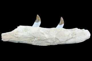 "10.1"" Archaeocete (Primitive Whale) Jaw Section - Basilosaur For Sale, #89255"
