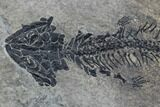 "9.7"" Discosauriscus (Early Permian Reptiliomorph) - Czech Republic - #89332-2"