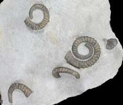 Multiple Devonian Ammonites (Anetoceras) on Rock - Morocco For Sale, #87254