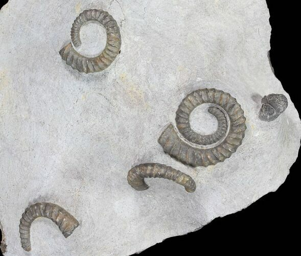 Multiple Devonian Ammonites (Anetoceras) on Rock - Morocco