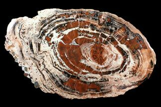 "Buy Massive, Red/Black Arizona Petrified Wood Slab - 22.2"" - #89335"