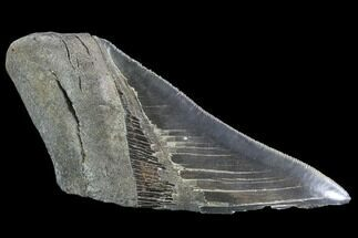 "4.94"" Partial Fossil Megalodon Tooth - Serrated Blade For Sale, #89444"