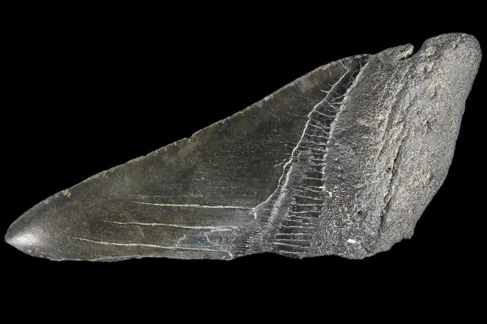 "5.55"" Partial Fossil Megalodon Tooth"