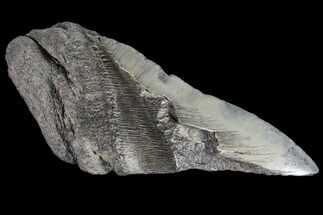 Carcharocles megalodon - Fossils For Sale - #89460
