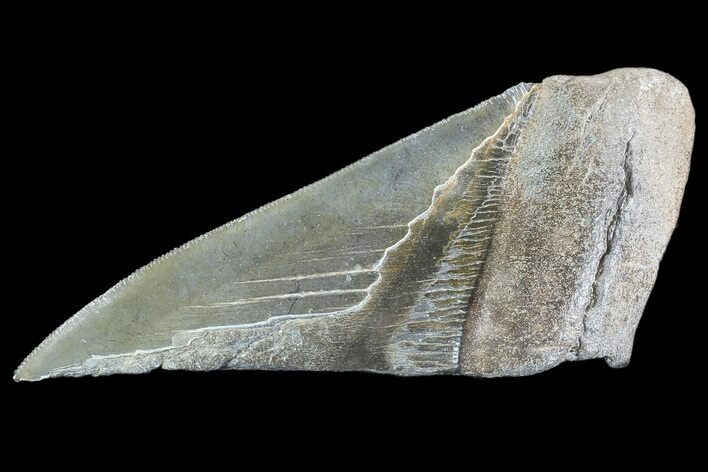 "5.02"" Partial Fossil Megalodon Tooth - Serrated Blade"