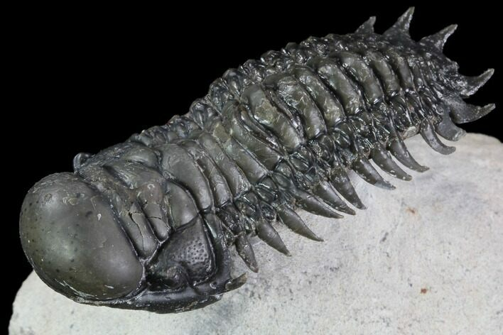 "2.25"" Crotalocephalina Trilobite - Flying Preparation"