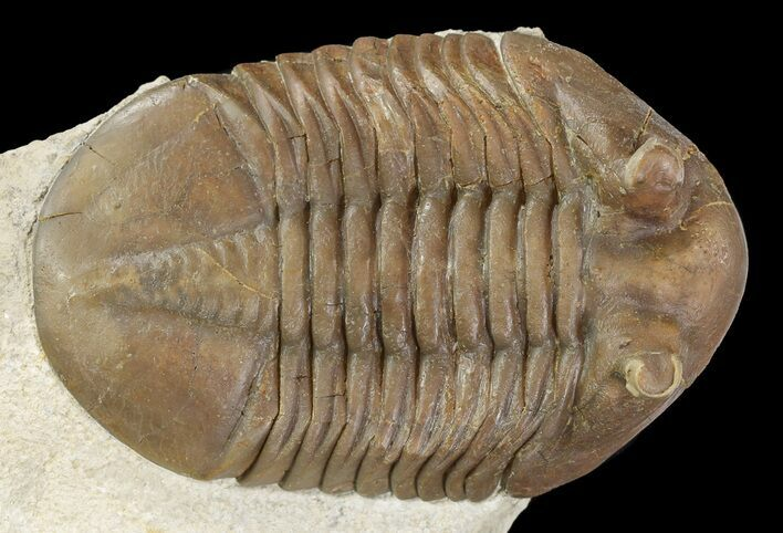 "3.6"" Asaphus Holmi Trilobite With Exposed Hypostome - Russia"