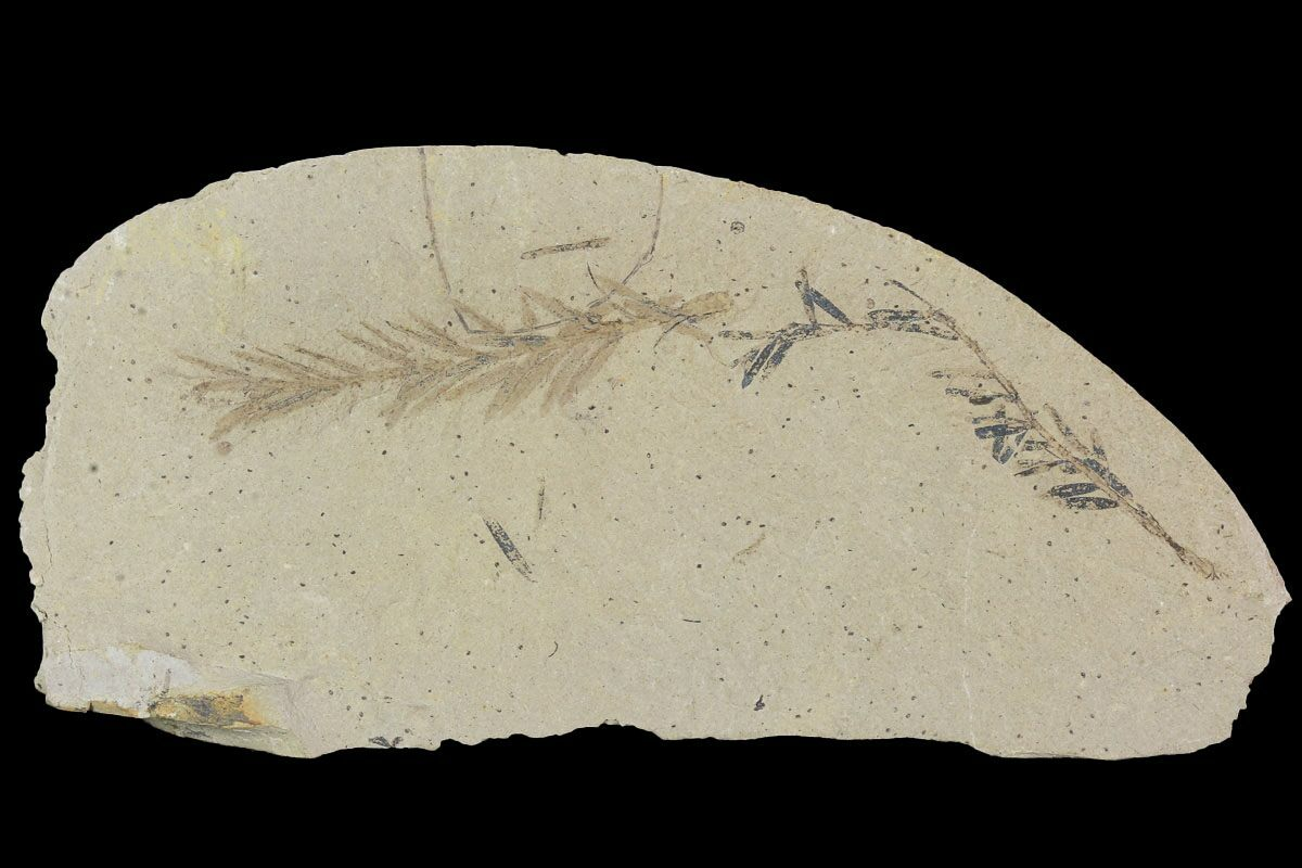 Metasequoia  Dawn Redwood  Fossils