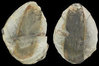 "3.1"" Fossil Neuropteris Seed Fern (Pos/Neg) - Mazon Creek For Sale, #89921"