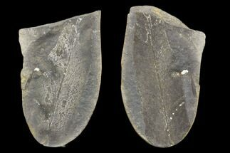 Neuropteris sp - Fossils For Sale - #89940