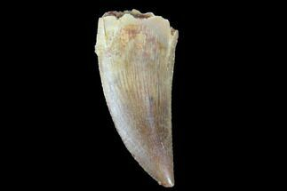 "Buy .71"" Raptor Tooth - Real Dinosaur Tooth - #90019"