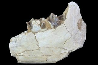 Hyracodon nebraskensis - Fossils For Sale - #90258