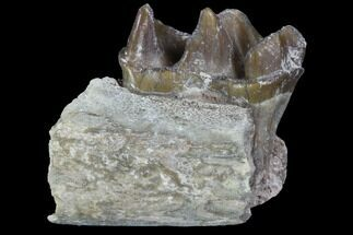Hyracodon nebraskensis - Fossils For Sale - #90291
