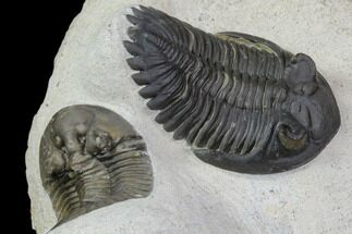 Excellent Scabriscutellum & Hollardops Trilobite Association For Sale, #90707