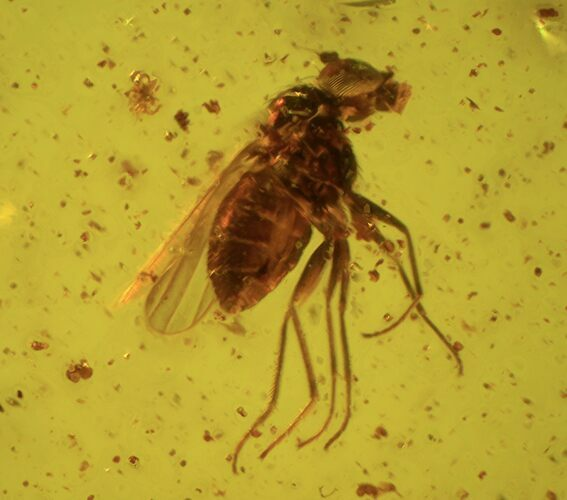 Fossil Fly (Diptera) And Four Mites (Acari) In Baltic Amber