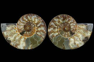 "5.85"" Cut & Polished Ammonite Fossil - Agatized For Sale, #91160"