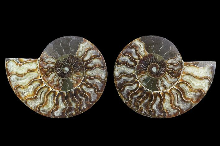 "5.3"" Cut & Polished Ammonite Fossil - Agatized"