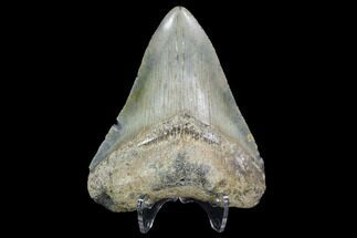 "Buy 3.33"" Megalodon Tooth - North Carolina - #91339"