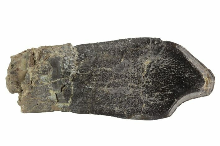 "2.71"" Camarasaurus Tooth - Awesome Specimen (Reduced Price)"