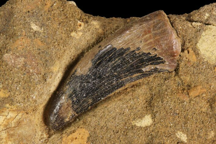 ".71"" Theropod (Raptor) Tooth In Rock - Judith River Formation"