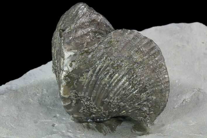 "2.25"" Fossil Brachiopod Mounted On Shale - Ohio"