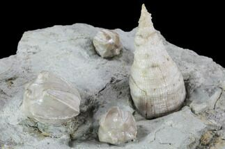 Buy Blastoids (Pentremites) & Horn Coral Mounted On Shale - Ilinois - #91468