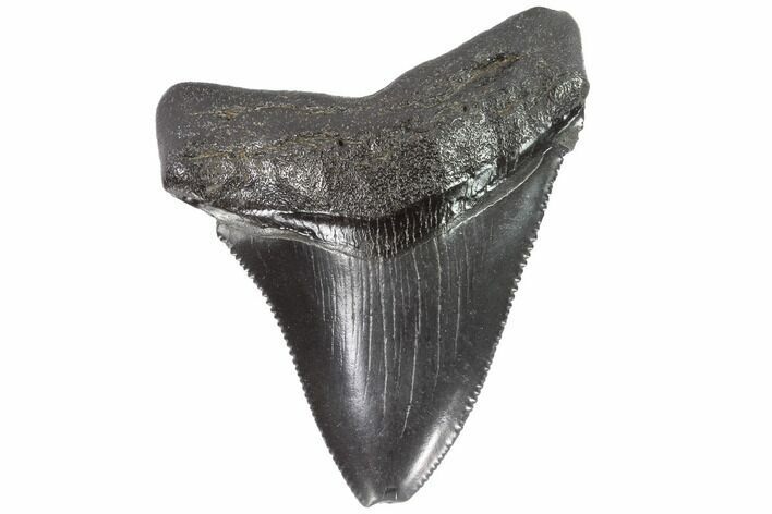 "Serrated, 2.32"" Juvenile Megalodon Tooth - Georgia"