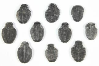 "Buy Wholesale Lot: 3/4"" Elrathia Trilobite Molt Fossils - 10 Pieces - #92059"