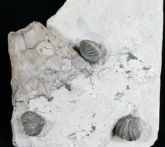 Eucalyptocrinus Crinoid Calyx and Brachiopods For Sale, #6608