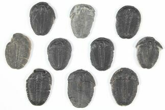 "Wholesale Lot: 1"" Elrathia Trilobites - 10 Pieces For Sale, #92078"