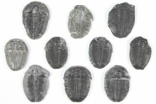 "Buy Wholesale Lot: 1-1.25"" Elrathia Trilobites - 10 Pieces - #92083"