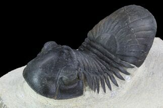 "2.75"" Paralejurus Trilobite Fossil - Ofaten, Morocco For Sale, #92126"
